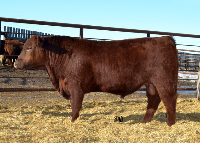 Lot 24:  RED BROWN CREEK GUNNER 11D<br><a href='http://abri.une.edu.au/online/cgi-bin/i4.dll?1=20213329&2=2420&3=56&5=2B3C2B3C3A&6=5A5D585B222021242F&9=5F5B595F' target='_blank'>View CAA Page &raquo;</a>
